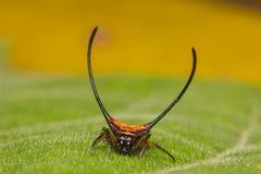 Длинн-horned паук Шар-ткача стоковая фотография