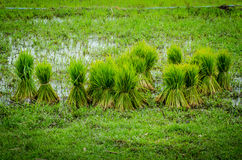 Для саженцев риса Стоковое Фото
