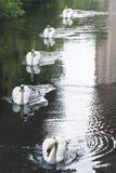 5 лебедей Стоковое Изображение RF