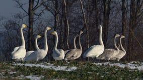 9 лебедей whooper, молодой и старый в поле Cygnus Cygnus Стоковая Фотография