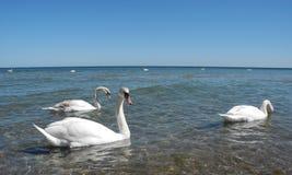 лебеди Балтийского моря Стоковые Изображения RF