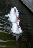 лебеди белые стоковая фотография rf