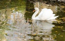 лебеди белые Стоковые Изображения RF