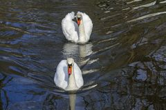 лебеди белые Стоковое Фото