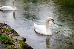 лебеди белые Стоковое Изображение RF
