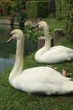 лебеди белые Стоковые Фотографии RF