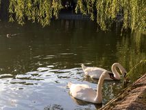 лебеди лебедя пар озера фокуса передние Стоковая Фотография RF