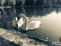лебеди лебедя пар озера фокуса передние Стоковые Фотографии RF