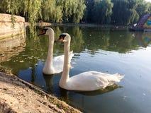 лебеди лебедя пар озера фокуса передние Стоковые Изображения
