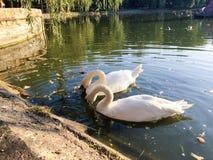 лебеди лебедя пар озера фокуса передние Стоковое Фото