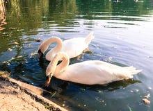 лебеди лебедя пар озера фокуса передние Стоковые Изображения RF