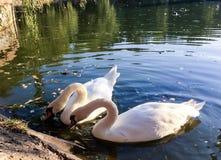лебеди лебедя пар озера фокуса передние Стоковое Изображение RF