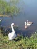 лебеди лебедя семьи младенца женские мыжские Стоковое Изображение