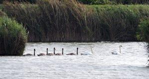 лебеди лебедя семьи младенца женские мыжские Стоковые Изображения