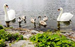 лебеди лебедя семьи младенца женские мыжские Стоковые Фотографии RF