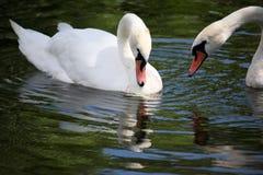 лебеди плавая белизна 2 Стоковая Фотография RF