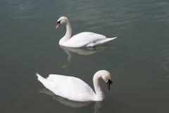 лебеди плавая вода Стоковое Изображение RF