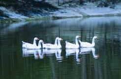 лебеди плавая одно за другим в озере с покрытыми снег берегами Стоковая Фотография