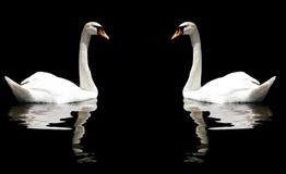 лебеди 2 Стоковые Фото
