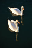 лебеди 2 Стоковые Изображения RF