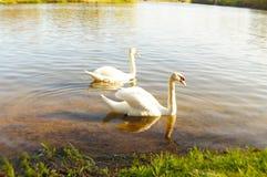 лебеди Стоковая Фотография