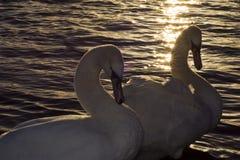 лебеди Стоковое Изображение