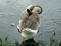 лебедь гусыни cygnoides anser Стоковое Изображение
