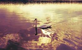 лебедь на голубой воде озера в солнечном дне тонизировано Стоковое Изображение RF