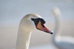 лебедь родителей малышей безгласный Стоковое Изображение RF