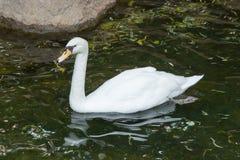 лебедь родителей малышей безгласный Стоковые Изображения