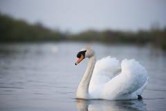 лебедь родителей малышей безгласный Стоковое Фото