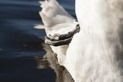 лебедь родителей малышей безгласный Стоковые Фото