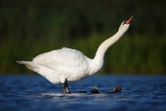 лебедь родителей малышей безгласный Стоковые Изображения RF