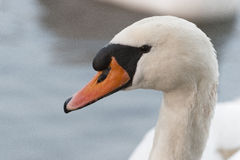лебедь родителей малышей безгласный Стоковая Фотография RF