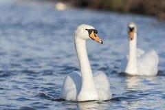лебедь родителей малышей безгласный Стоковое Изображение
