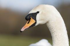 лебедь родителей малышей безгласный Стоковое фото RF