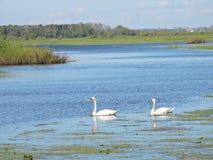 2 лебедя в меньшем озере, Литве Стоковое Фото