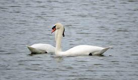 2 лебедя в озере Стоковая Фотография