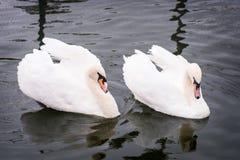2 лебедя в озере Стоковые Фото