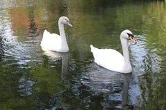 2 лебедя в пруде Стоковые Изображения RF