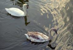 2 лебедя в пруде Стоковая Фотография RF