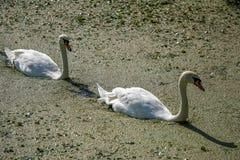 2 лебедя делая их путь через duckweed Стоковые Фото