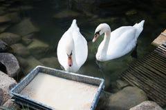 2 лебедя еды белых Элегантная грациозно птица подавать Стоковое Изображение