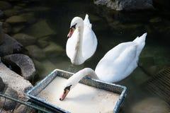2 лебедя еды белых Элегантная грациозно птица подавать Стоковое Изображение RF