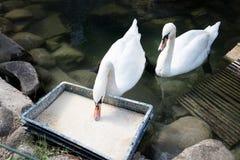2 лебедя еды белых Элегантная грациозно птица подавать Стоковая Фотография