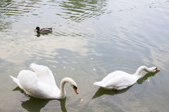 2 лебедя и заплывание утки в пруде Стоковое Изображение RF