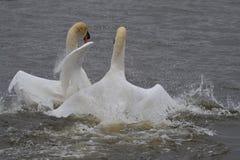 2 лебедя на бое воды Стоковое Фото