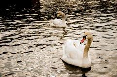 2 лебедя на воде стоковая фотография rf
