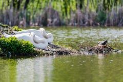 2 лебедя отдыхая в озере Стоковое Изображение RF