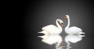 2 лебедя Стоковая Фотография
